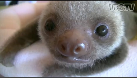 2b5e3962c8sloth.jpg Costa Rican Sanctuary Cares for Cutest Baby Sloths (Video)