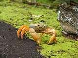 31ea009955081858.jpg Johngarthia cocoensis is new species of large land crab